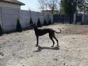 Femela ogar greyhound superba
