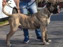 Mascul Monta Presa Canario Dogo Canario Canisa Giurgiu