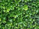 Iedera hedera -helix gard viu vesnic verde-20+10 gratis+10