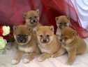 Shiba-Inu, pasaport international, microcip