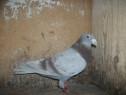Porumbei voiajori matca