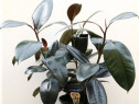 Ficus planta ornamentala