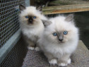 Pisici Birmaneze, ochi albastri, sosetele albe