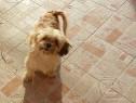 Bichon havanez 6 luni este fetita crescuta in casa