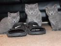 Pisici British Shorthair Blue, par scurt, nu lasa par