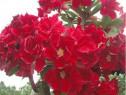 Pui bonsai trandafir de desert Strawberry la ghiveci