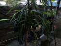 Yuka plantă decorativă