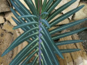 Rasad euphorbia lathyris-Planta Anti Cartita
