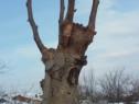 Execut taieri de formare si intretinere a coroanelor pomilor