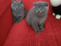 Puiuți British shorthair blue
