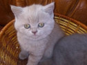 Puiuti de pisica rasa British Shorthair lila(lilac)
