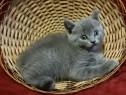 Puiuti pisici Albastru de Rusia 7 săptămâni
