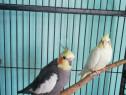 Pereche papagali nimfa