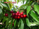 Cires pacific red pe colt si gisela 5