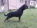 Rottweiler mascul pt monta