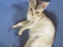 Pui pisica abisiniana!!