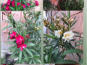 Plante Flori Leandru Leandrii galben, alb, rosu, portocaliu