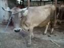 Vaca frumoasa
