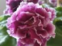 RS Duchesse violeta