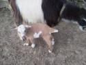 Iezi de rasa din capre bune de lapte, sau iada cu iezi