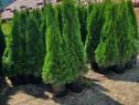 Braduti ornamentali,pomi,palmieri