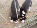 Catei husky siberieni pedigree grupa bună