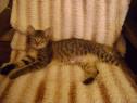 Salvați o pisicuță gri-adoptie