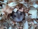 Hamsteri pitici/siberieni-crescatorie.Trimit in toata tara.