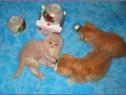Pisici Scottish Fold Bucuresti ,Iasi,Oradea,Brasov