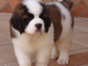 Saint Bernard, pasaport international, microcip
