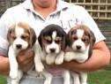 Beagle, tricolori, par scurt, puiuti rasa pura