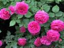 Trandafir rosu de dulceata.Trandafirul de Damasc
