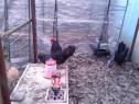 Ouă găini rasa Australorp