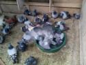 Porumbei voiajori si ornament - iepuri cap de leu si angora