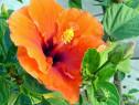 20 semințe Hibiscus portocaliu - floare zen de apartament