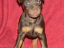 Pui de jagd terrier-jagdterrier pe negru si ciocolatiu!!