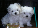 Bichon Maltez alb imaculat, talie mini toy