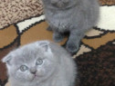 Puiuți British shorthair blue , lila și white