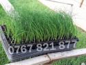 Rasad de ceapa verde si alte rasaduri legume