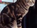 Monta (împerechere) motan British tabby shorthair rasa pura
