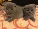 Pui de pisica scottish scotish fold blue