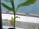 Bananier japonez musa basjoo