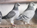 Porumbei Standard românesc