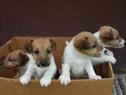Pui foxterrier fox terrier
