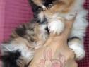 Pisici Persane Bucuresti Brasov Iasi Oradea Ct Galati Tm
