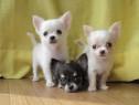 Chihuahua rasa pura, talie miniaturala