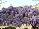 Wisteria sinensis - Glicina