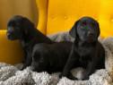 Pui Labrador Retriever negru