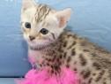Pui pisici bengal/bengal cat/pisica bengaleza