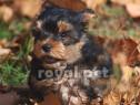 Caini yorkshire terrier bucuresti brasov constanta oradea